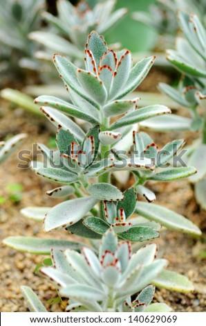 Sempervivum - stock photo