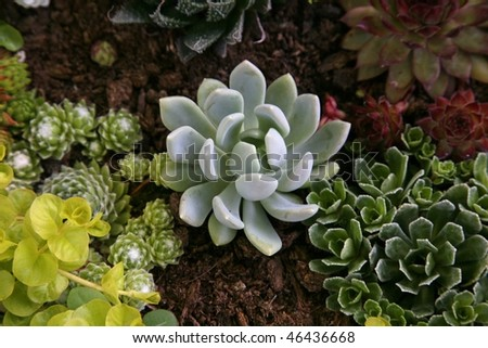 Sempervivum tectorum in closeup, housekeep