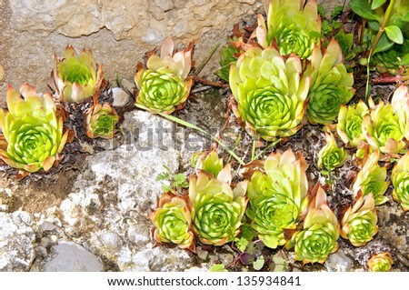 Sempervivum Tectorum, Italy, Appennine mountains - stock photo