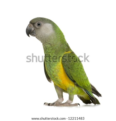 Senegal Parrot - Poicephalus senegalus in front of a white background - stock photo