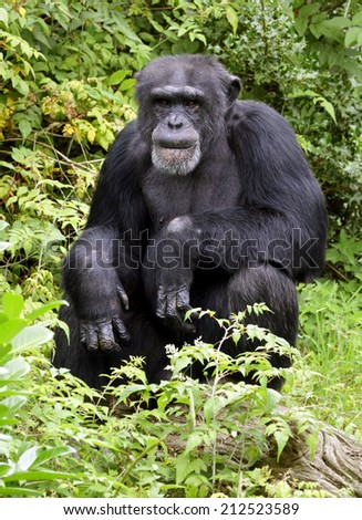 Senior adult chimpanzee deep in thought - stock photo