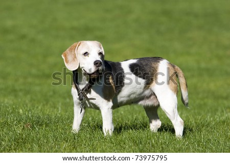 senior beagle female is standing in the green grass