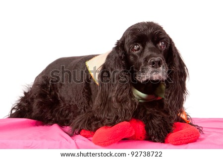 Senior black cocker spaniel dog isolated on white backdrop - stock photo