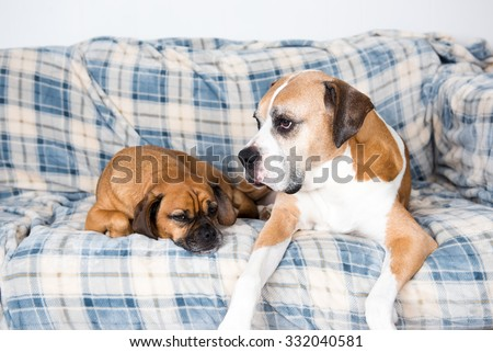Senior Boxer Mix Dog and Fawn Puggle Relaxing on Couch - stock photo