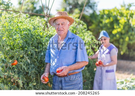 Senior couple with of harvested tomatoes in the garden - stock photo