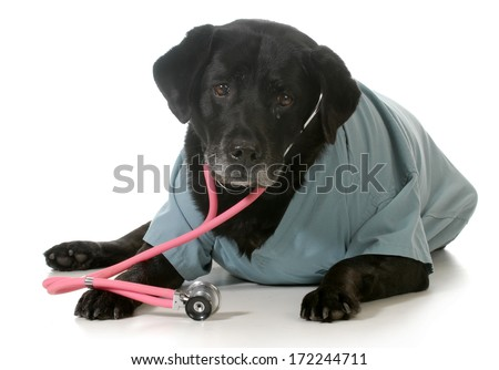 senior dog dressed up like a veterinarian isolated on white background - black labrador retriever - stock photo