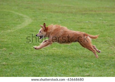 Senior dog running freely in a field. Model is eleven years old - stock photo