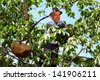 Senior farmer climbed up in a cherry tree picking cherries in a thatched basket - stock photo