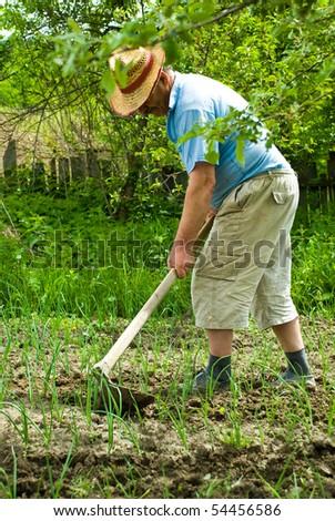 Senior farmer digging cultivated spring onion in his garden - stock photo