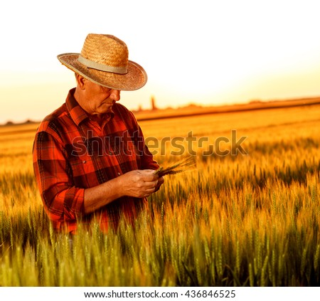 Senior farmer in a field examining wheat crop at sunset. - stock photo
