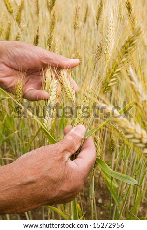 Senior farmer's hands holding wheat ears - stock photo