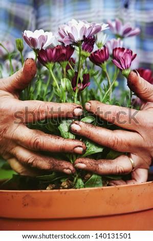 Senior hands holding flowers, gardening concept - stock photo