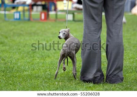Senior italian greyhound at dogs show - stock photo