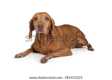 Senior large breed dog with eye infection laying down on a white background - stock photo