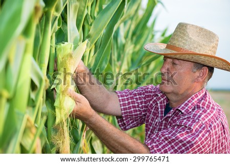 Senior man  looking at ear of corn in green corn field.Shallow doff, copy space
