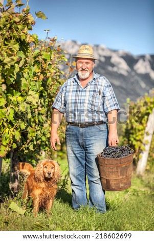 Senior Man with his dog Harvesting Grapes in the Vineyard - stock photo