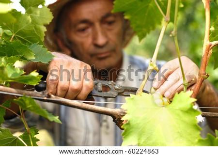 Senior winemaker cuts twigs - stock photo