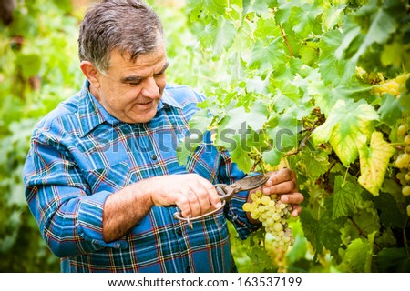 Senior winemaker cuts twigs,Italy - stock photo