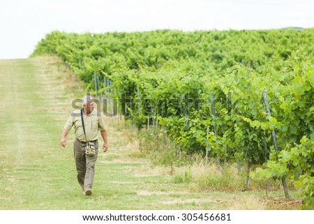 Senior winemaker walking on his fields, checking this year's grape produce. - stock photo