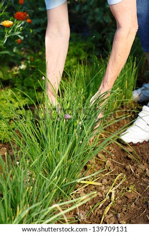 Senior woman harvesting healthy organic chives in the garden - stock photo