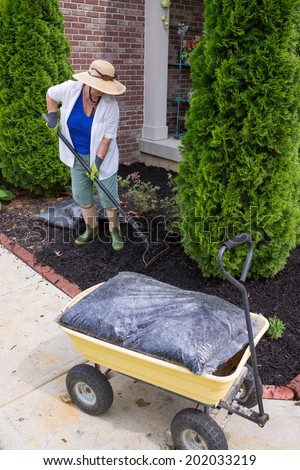 Senior woman mulching around arborvitaes, an evergreen tree also known as thuja, using a rake to spread the mulch over the soil with a bag of mulch in the foreground - stock photo