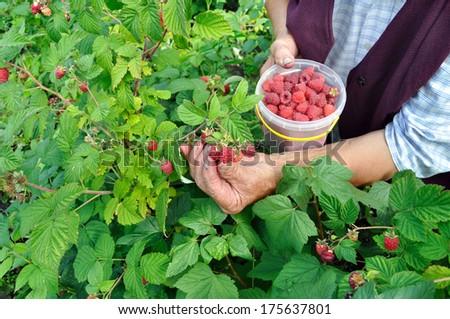 Senior woman picking raspberries in the garden - stock photo