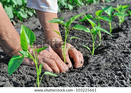 Senior woman planting a pepper seedling - stock photo
