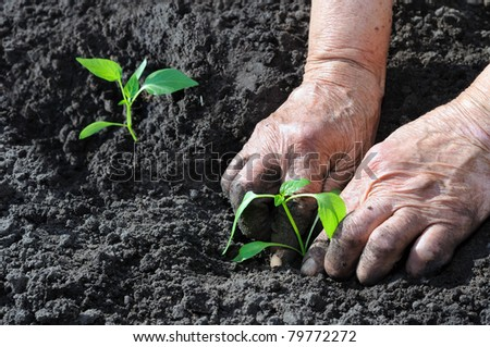 Senior woman planting a pepper seedling - stock photo