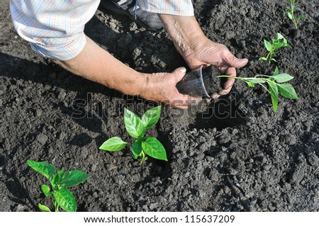senior woman planting a pepper seedling in the vegetable garden - stock photo