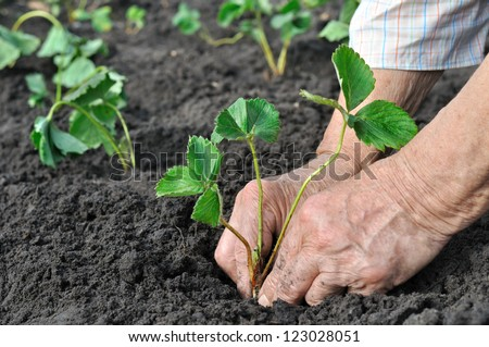 senior woman planting a strawberry seedling in the garden - stock photo