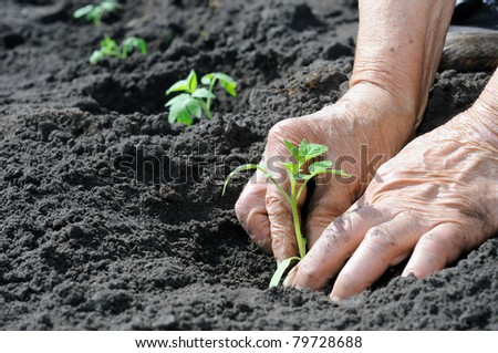 Senior woman planting a tomatoes seedling - stock photo