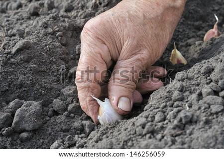 Senior woman planting garlic in the vegetable garden - stock photo