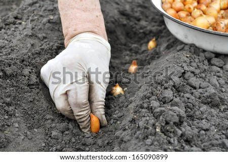 senior woman planting onion in the vegetable garden  - stock photo