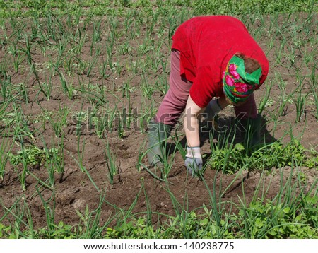 Senior woman weeding onions in the garden