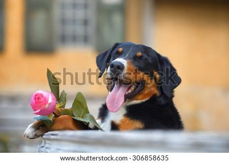 Sennenhund Appenzeller tricolor dog with rose - stock photo