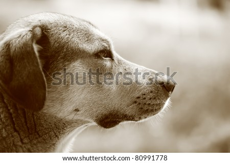 Sepia portrait of a dog - stock photo