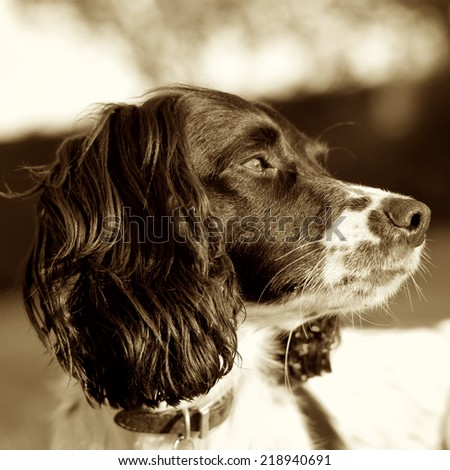 Sepia portrait square of a Springer Spaniel dog basking in the sun light sniffing the breeze - stock photo