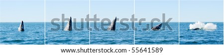 Sequence of a breaching gray whale in Guerrero Negro, Mexico - stock photo