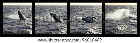 sequence of a Humpback whale calf breaching - stock photo