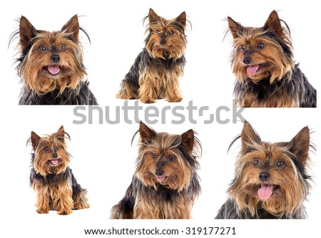 Sequence of photos of a beautiful little dog - stock photo