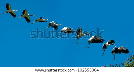 Sequence of Wood Stork in flight landing