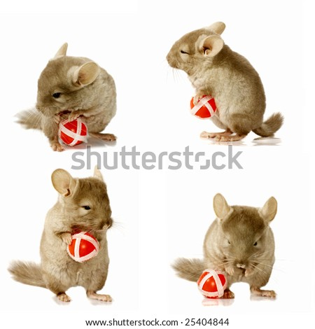 sequence shots of chinchilla holding and playing with red ball - stock photo
