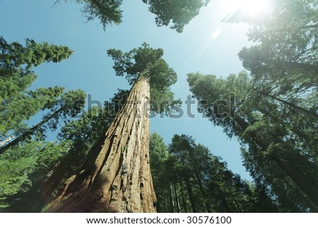 sequoia forest - stock photo