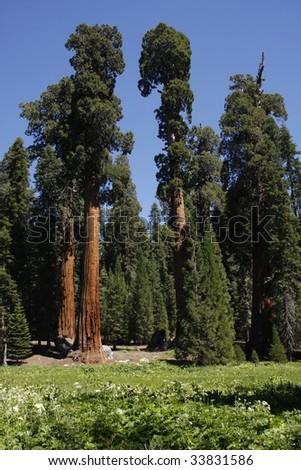 Sequoia National Park trees - stock photo