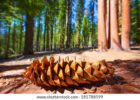 Sequoia pine cone macro in Yosemite Mariposa Grove at California - stock photo