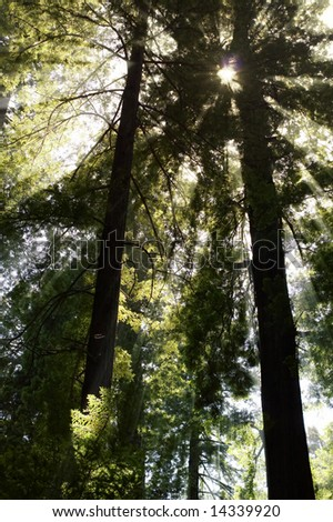 Sequoia tree forest - stock photo