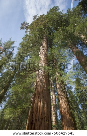 Sequoia Tree Rising to the Sky, Sequoia National Park, California