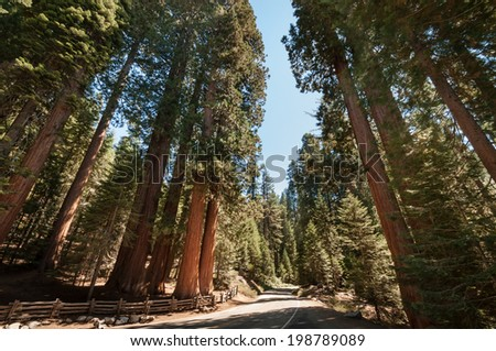 Sequoia tree street in national park california - stock photo