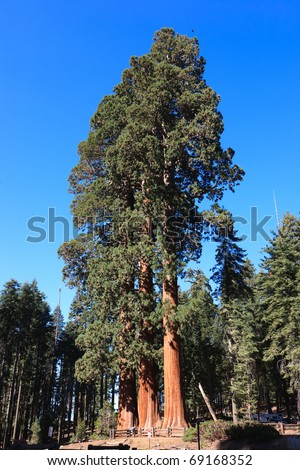 Sequoia trees, Sequoia National Park in California, USA