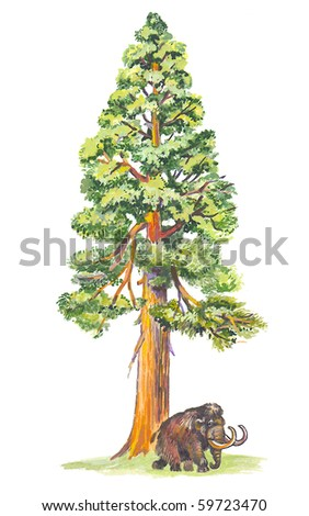 Sequoiadendron (Mammoth tree) the largest tree in the world. - stock photo